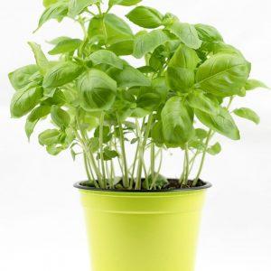 Herbs - basil-plant
