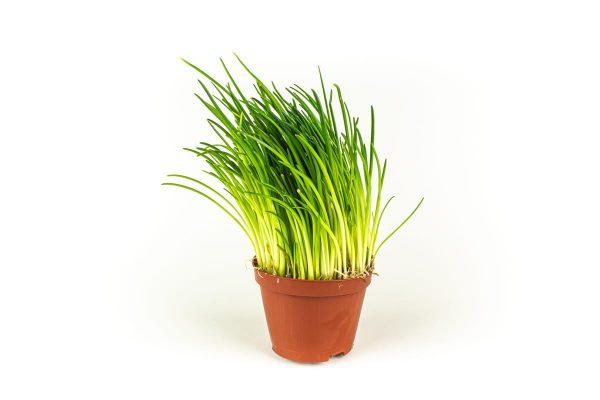 Herbs - bieslook-plant