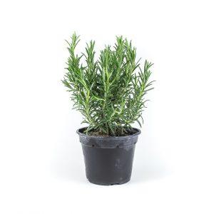 Herbs - roosmarijn-plant