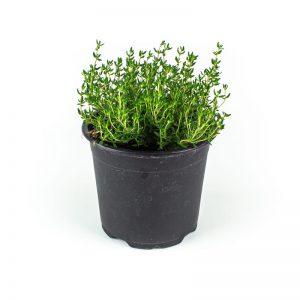 Herbs - tijm-plant