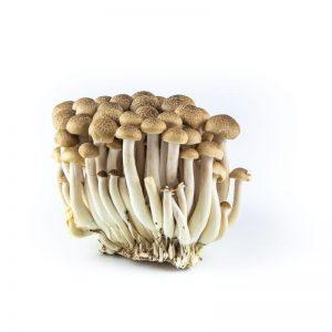 Mushroom - beukenzwam-bruin